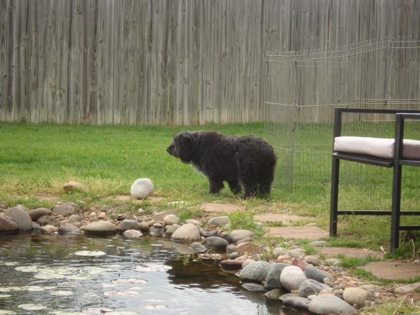 My dog, Belty, looks like an Oklahoman Grizzly Bear
