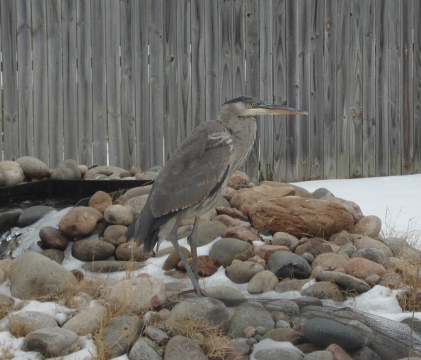 The Great Blue Heron who ate a third of my goldfish before I caught him in the act