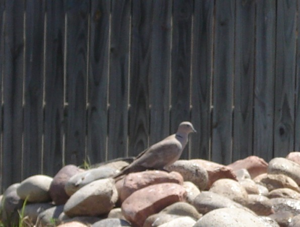 Ringnecked Dove at my goldfish pond