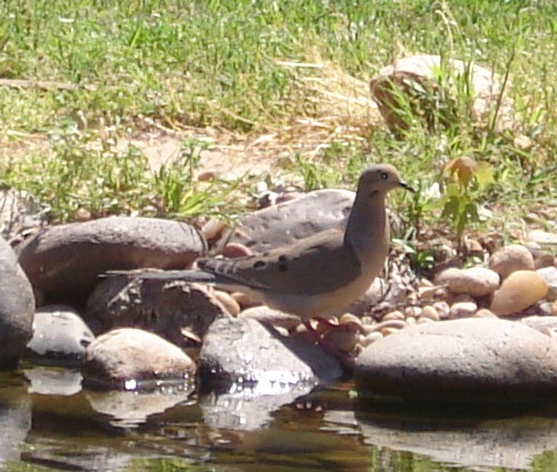 Mourning Dove at my goldfish pond